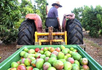 Mango Farm For Sale