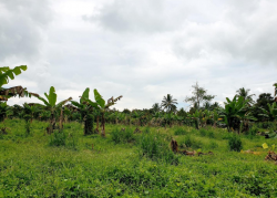 Fully Planted 1.5hectares Farm Lot