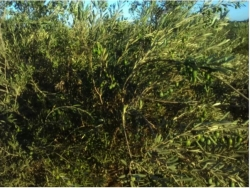 Olive Farm For Sale
